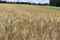 Pole żyto i jęczmień Maturation przyszłościowego żniwa Agrarny sektor rolniczy przemysł Rośliny gospodarstwo rolne Rosnąć zdjęcia stock