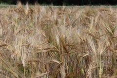 Pole żyto i jęczmień Maturation przyszłościowego żniwa Agrarny sektor rolniczy przemysł Rośliny gospodarstwo rolne Rosnąć fotografia stock