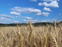 Pole żyto i jęczmień Maturation przyszłościowego żniwa Agrarny sektor rolniczy przemysł Rośliny gospodarstwo rolne Rosnąć zdjęcia royalty free