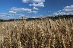 Pole żyto i jęczmień Maturation przyszłościowego żniwa Agrarny sektor rolniczy przemysł Rośliny gospodarstwo rolne Rosnąć obrazy royalty free