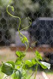 Pole Bean Plant Climbing up Chicken Wire Support. A front closeup view of a pole bean plant climbing up a chicken wire support Royalty Free Stock Images