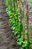Pole beans. French beans grow in a wooden stick upwards Stock Photography