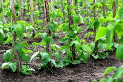 Pole beans. Some poles of wood are fastened in the ground. Upwards in it French beans grow - pole beans stock photo