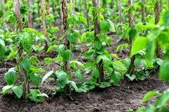 Pole beans Stock Photo