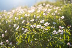 Pole biali anemony Dzicy północni anemony kwitną kwitnienie w wiosny lub lata sezonie w Yakutia, Syberia obrazy royalty free