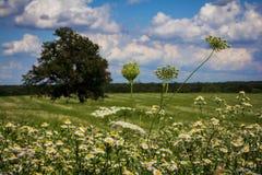 Pole Biali Wildflowers Obraz Stock