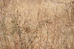 Pole brown świrzepy Zdjęcia Royalty Free