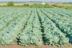 Pole cabbage12 Fotografia Royalty Free