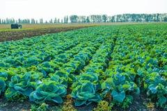 Pole cabbage11 Obrazy Stock