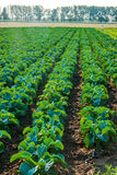 Pole cabbage10 Fotografia Royalty Free