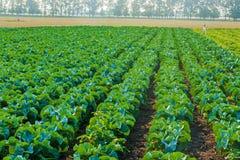 Pole cabbage9 Fotografia Stock