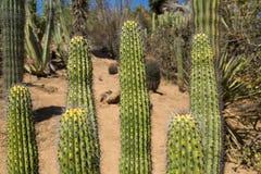 Pole Cactus Stock Photo