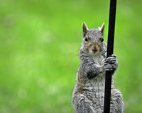 Pole Climbing Squirrel. Squirrel climbing a wrought iron pole against a bright green background Royalty Free Stock Images