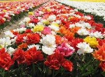 Pole colourful tulipanowi kwiaty Zdjęcia Royalty Free
