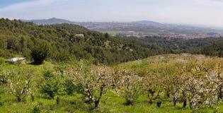 Pole Czereśniowi drzewa w okwitnięciu blisko Sant Climent, Barcelona prowincja, Hiszpania obraz stock