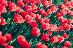 Pole czerwoni piękni tulipany w kwiacie zdjęcia stock