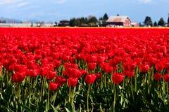 Pole czerwoni tulipany Zdjęcie Stock