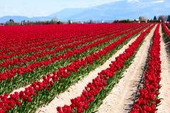 Pole czerwoni tulipany Fotografia Royalty Free