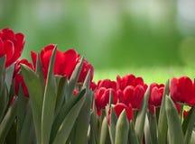 Pole Czerwoni tulipany Zdjęcie Royalty Free