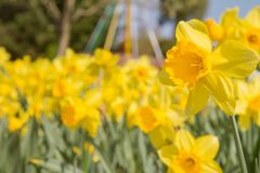 Pole daffodils obrazy stock
