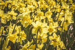 Pole daffodils zdjęcie stock