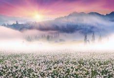 Pole daffodils w Carpathians fotografia royalty free