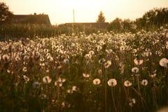 Pole Dandelions 21 Obraz Stock
