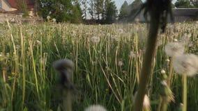 Pole dandelions letni dzień zdjęcie wideo