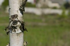 Pole der Birke an einem hellen sonnigen Tag Stockfotos