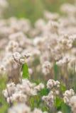 Pole dzicy, biali dandelions w lecie, fotografia stock