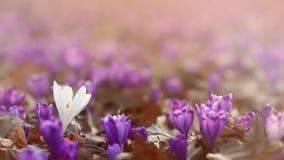 Pole dzicy purpurowi krokusy z dębów drzewami dolinnymi przy zmierzchem Piękno wildgrowing wiosna kwitnie krokusa zbiory wideo