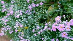 Pole fiołek kwitnie z zielonej trawy łąką przy tłem, robi czuciowemu odświeżeniu kwiatu pole delikatnie i wiatrowi ciosy zbiory wideo