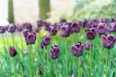 Pole fiołkowi tulipany z ranek rosy kropelkami fotografia stock