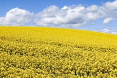 Pole jaskrawi żółci kwiaty Rapeseed Brassica napus fotografia royalty free