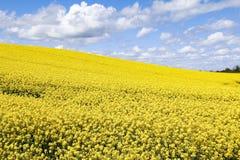 Pole jaskrawi żółci kwiaty Rapeseed Brassica napus obraz stock