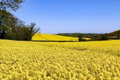 Pole jaskrawi żółci kwiaty Rapeseed Brassica napus fotografia stock