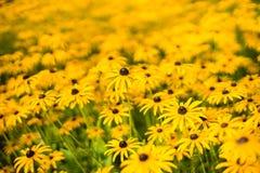 Pole jaskrawy barwiący kolorów żółtych kwiaty zdjęcie stock