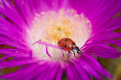Pole jumping of a ladybug. The flower of my garden Royalty Free Stock Images