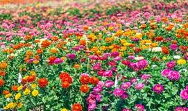pole kolor kwiatów Wiosna sezonu pojęcie Zdjęcie Stock