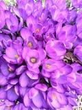 Pole krokusów kwiaty Zdjęcia Stock