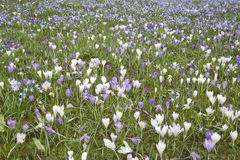 Pole krokusów kwiaty, Tewkesbury, Anglia Fotografia Stock