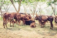 pole krowy Obrazy Royalty Free