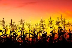 Pole kukurudza w przy zmierzchem nad wszystkie badylami kukurudza fotografia stock