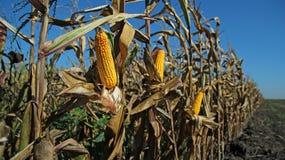 Pole Kukurydzany Przygotowywający dla żniwa Zdjęcie Stock