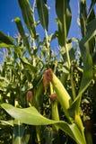pole kukurydzy Obraz Royalty Free