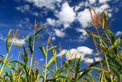 pole kukurydzy Obrazy Royalty Free