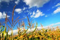 pole kukurydzy Zdjęcie Stock