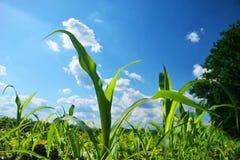 pole kukurydzy Zdjęcia Stock