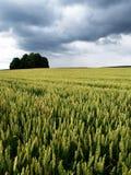 pole kukurydzy Obrazy Stock