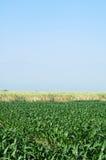 pole kukurydzy Zdjęcia Royalty Free